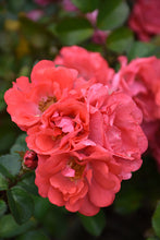 Load image into Gallery viewer, Coral Drift® Rose flowers