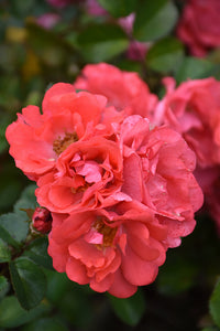 Coral Drift® Rose flowers