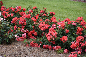 Coral Drift® Rose in bloom
