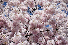 Load image into Gallery viewer, Yoshino Cherry flowers