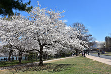 Load image into Gallery viewer, Yoshino Cherry in bloom