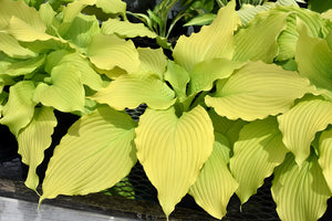 Dancing Queen Hosta foliage