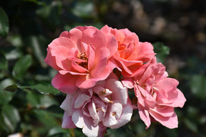Coral Knock Out® Rose flowers