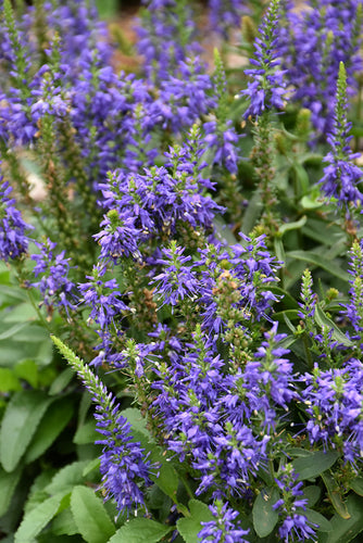 Magic Show® Wizard of Ahhs Speedwell flowers