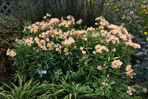 Inca Ice™ Alstroemeria in bloom