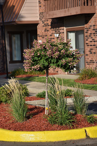 Quick Fire® Hydrangea (tree form) in bloom