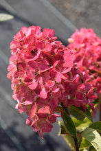 Load image into Gallery viewer, Fire Light® Hydrangea flowers