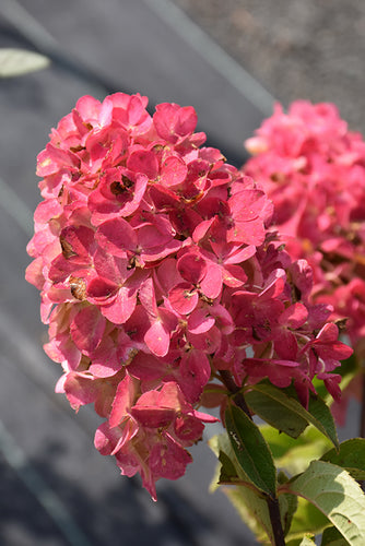 Fire Light® Hydrangea flowers