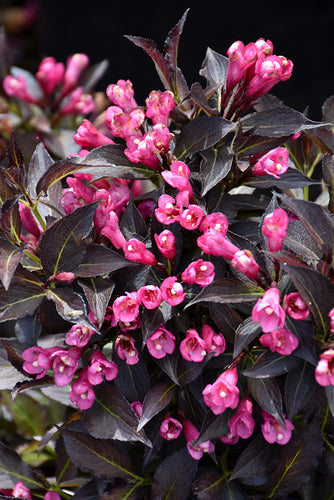Spilled Wine® Weigela flowers