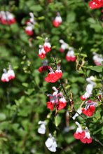 Load image into Gallery viewer, Hot Lips Sage flowers