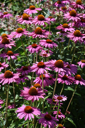 PowWow Wild Berry Coneflower flowers