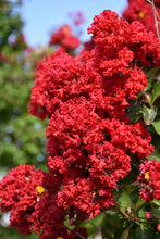 Load image into Gallery viewer, Dynamite® Crapemyrtle flowers