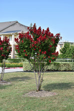 Load image into Gallery viewer, Dynamite® Crapemyrtle in bloom