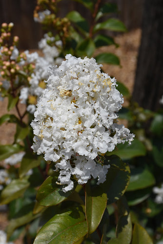 Enduring Summer™ White Crapemyrtle flowers