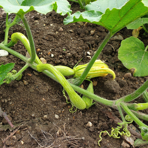 Trombocino courgettes