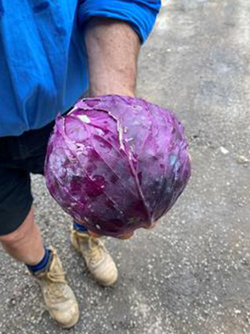 Cabbage (Red) | Half