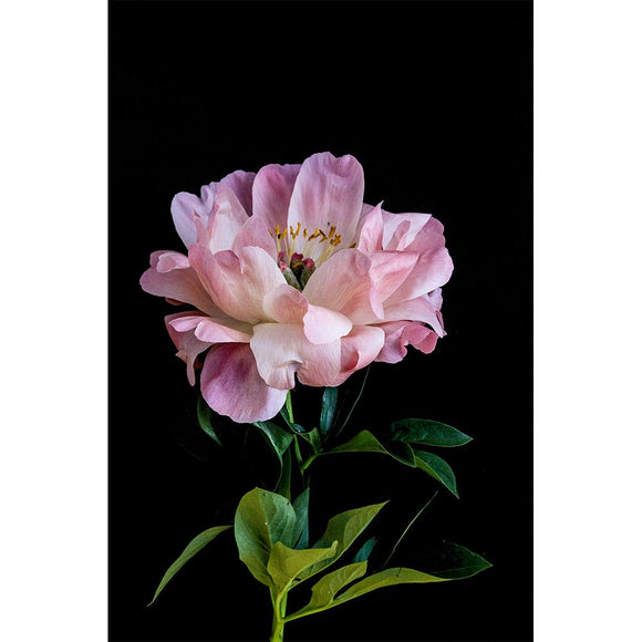 Just South West - A4 Peony Bloom II