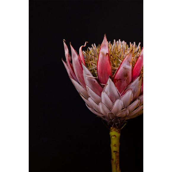 Just South West - A1 King Protea