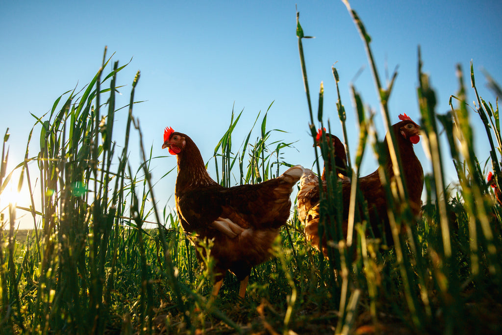 6 Reasons Why You Should Start Eating Healthier, Tastier Pasture-Raised Eggs