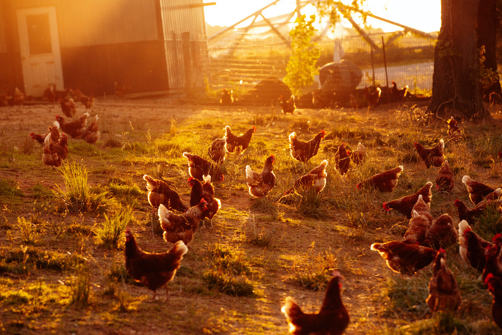 A Day in the Life of A Pasture Raised Hen