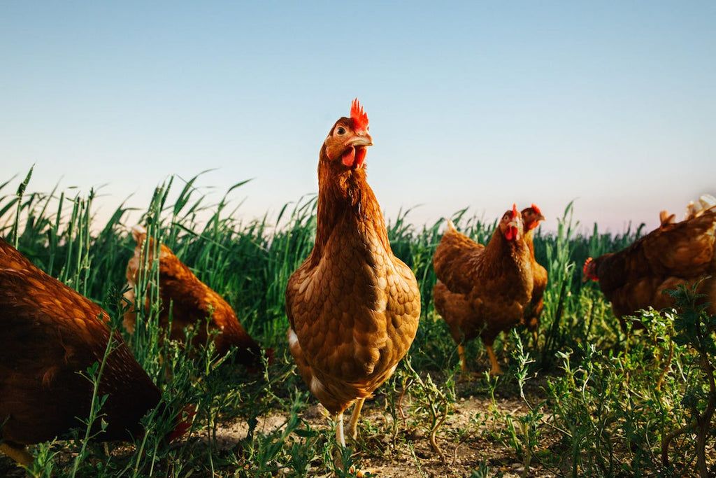 'Cage-free' and 'free range' eggs aren't necessarily cruelty-free