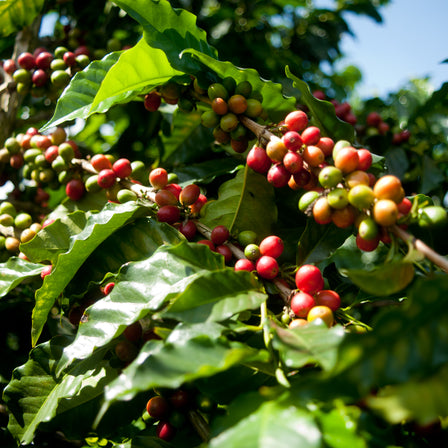 La Maria Farm Coffee