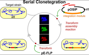 One-Step Cloning and Chromosomal Integration of DNA