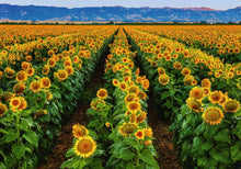 Load image into Gallery viewer, Fields of Gold 1000pc Puzzle