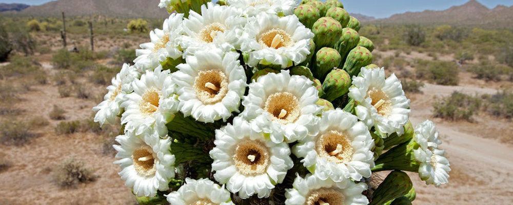 Cactus blossom flowers in a sunny day Texas, can be used for candle making