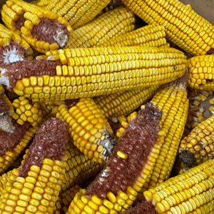 Corn cobs (Each)