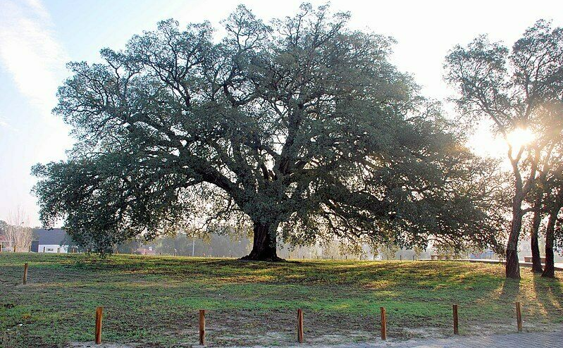 "Monumental Cork Oak "" The Sombreiro"""