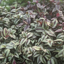 Load image into Gallery viewer, Tradescantia (Wandering Jew)