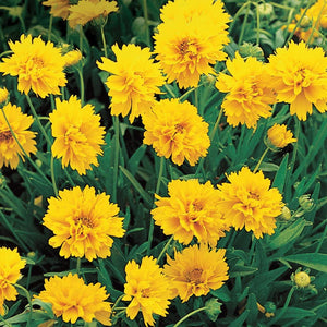 "Coreopsis ""Early Sunrise"""