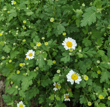Load image into Gallery viewer, Feverfew