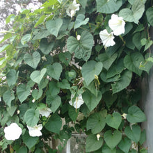 Load image into Gallery viewer, Moonflower Vine