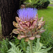 Load image into Gallery viewer, Artichoke