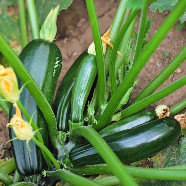 Vegetable Plants - Zucchini