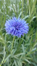 Load image into Gallery viewer, Cornflowers