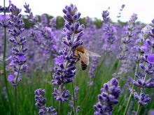 Load image into Gallery viewer, Lavender - Provence
