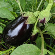 Load image into Gallery viewer, Vegetable Plants - Italian Eggplant