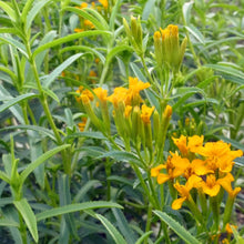 Load image into Gallery viewer, Mexican Mint Marigold aka Texas Tarragon