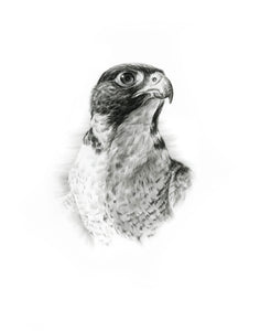 Peregrine Falcon - Limited Edition