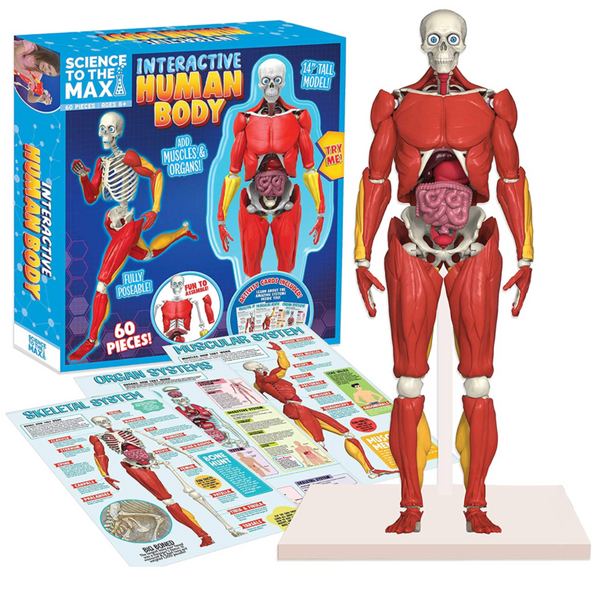 Interactive Human Body (Book & Posable Figure)