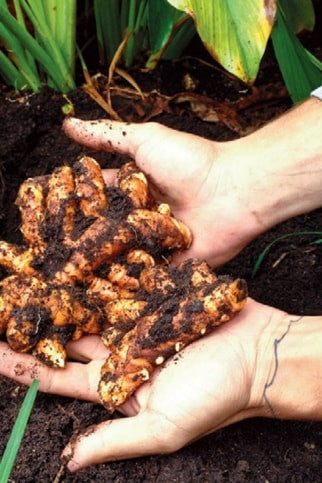 turmeric root benefits