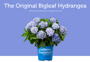 Assorted Hydrangea 1gal - select varieties as listed.