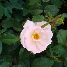 Load image into Gallery viewer, Knockout Roses 3 gal    Now 30% off