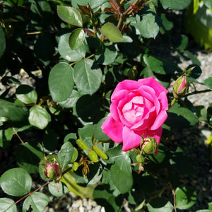 Knockout Roses 3 gal    Now 30% off