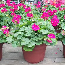 Load image into Gallery viewer, Geranium 12in Deco Pot