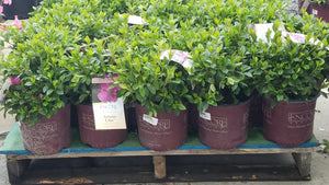 Assorted Encore Azaleas 1gal