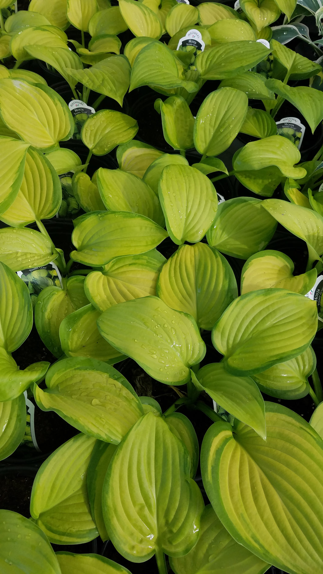 Assorted 1 gal Hosta